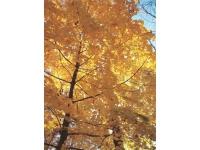 1sugar-mapel-yellow-glory